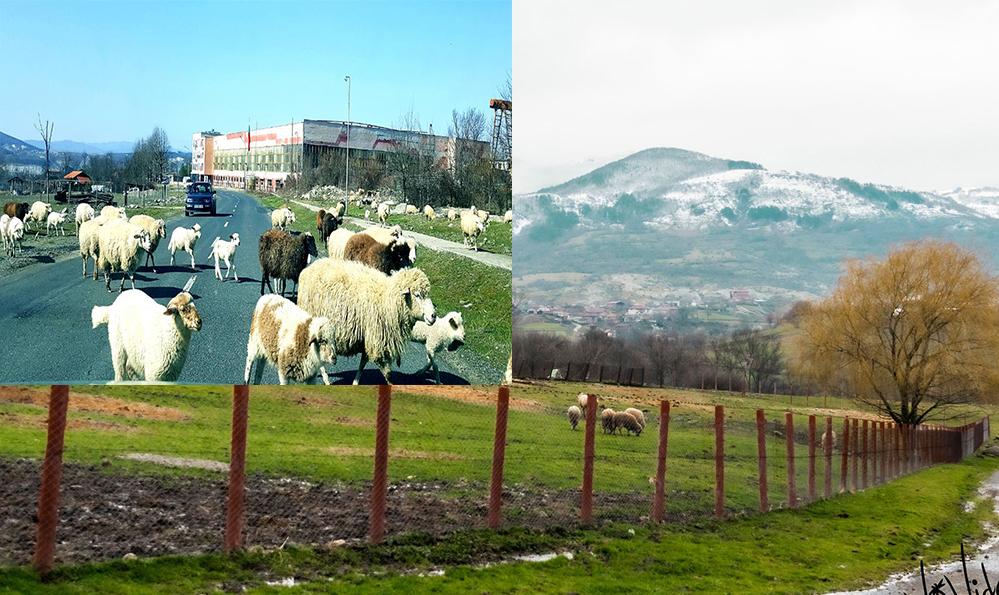 Овце и хора – едни затворени, други свободни…