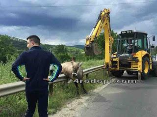 Огнеборци вадиха паднала в яма крава