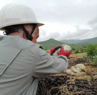 Спасителна акция за паднал малък щъркел от гнездо във Върбен