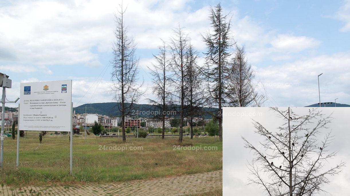 ВИДЕО репортаж: 7 месеца по-късно: Преместените кедри и брези… изсъхнаха!