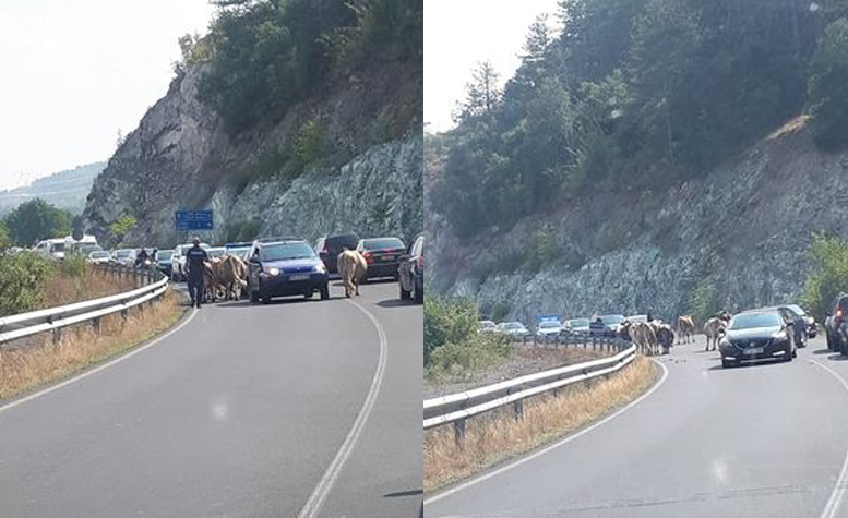Читателят-репортер: Не само румънско задръстване, но и кравешко!