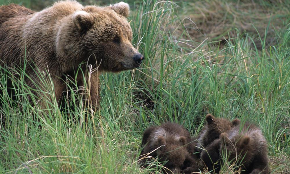 """Местят с """"отстрел"""" проблемна родопска мечка и двете й малки…на друго място да трупат килограми"""