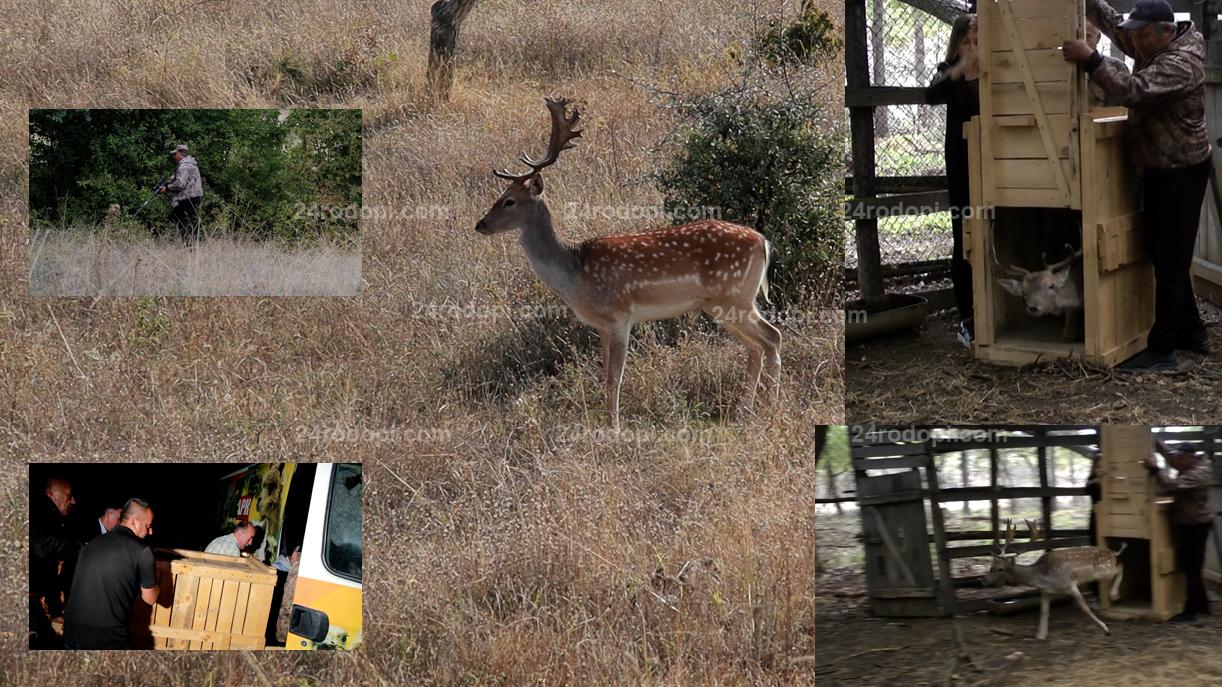 Bulgaria ON AIR: Еленът от Кьосево вече свободно обитава горите над Свети Влас (видео)