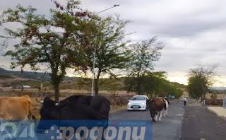 Три катастрофи: Водачи убиха на пътя крава и кон
